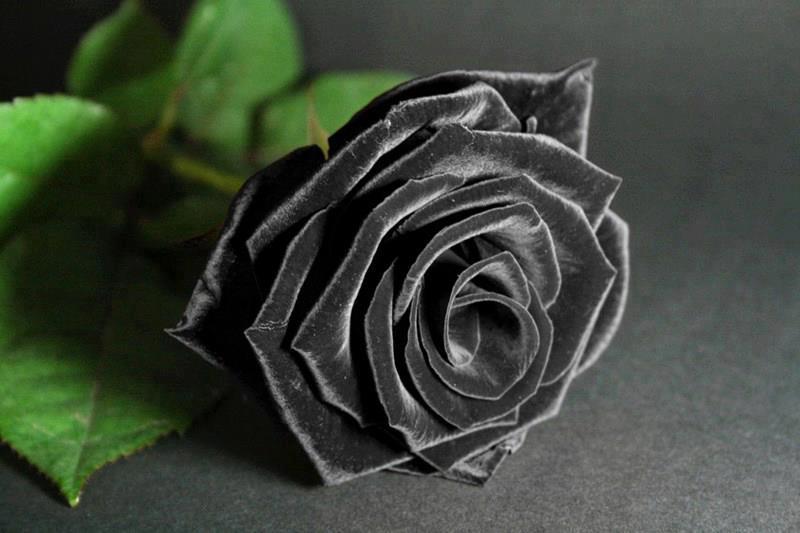 Vẻ đẹp Huyền Bí Của Những Loài Hoa Tươi Màu đen điện Hoa 24h