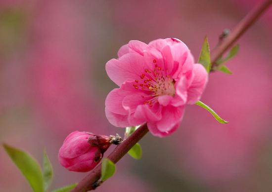 Ý nghĩa của hoa đào