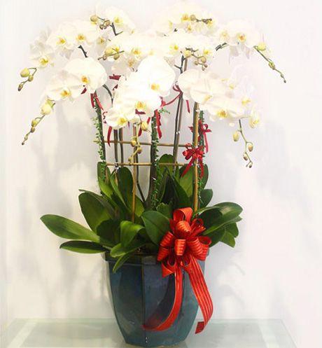 Hoa lan hồ điệp 8