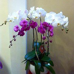 Hoa lan hồ điệp 38